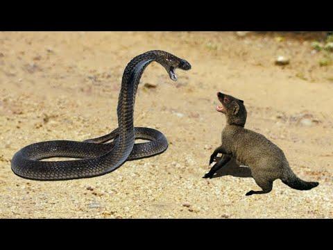 Маленькие, но отважные бойцы из семейства виверовые - МАНГУСТЫ В ДЕЛЕ! Их уважают даже кабаны!