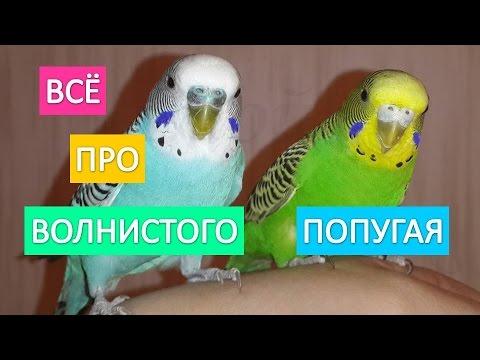 Волнистый попугай. Всё самое интересное про жизнь волнистых попугаев.
