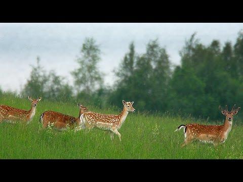 Лань европейская летом. Fallow deer in summer.