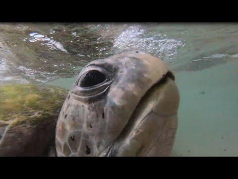 Гигантская зелёная морская черепаха / Подводная съёмка