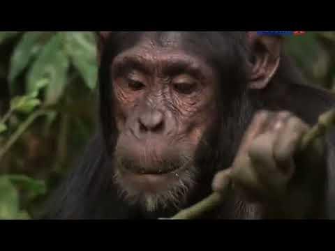Секреты шимпанзе. Документальный фильм