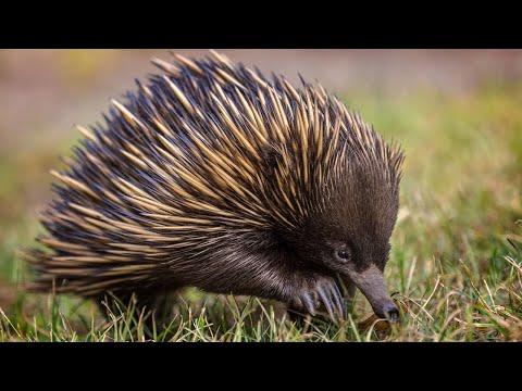 Ехидна — колючий шар, полный сюрпризов! Интересные факты об австралийской ехидне.