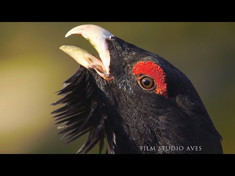 Глухарь - птица 2020 года (Tetrao urogallus)   Film Studio Aves