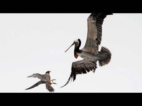 СОКОЛ В ДЕЛЕ! СОКОЛ против ПЕЛИКАНА! На что способен сокол против , змеи, утки и гуся!