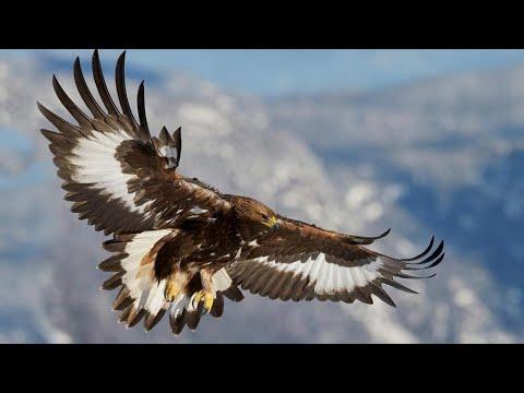 Беркут – Главный в небе! Самый большой и быстрый орёл. Интересные факты о беркутах.