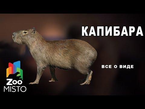 Капибара - Все о млекопитающем | Млекопитающее капибара