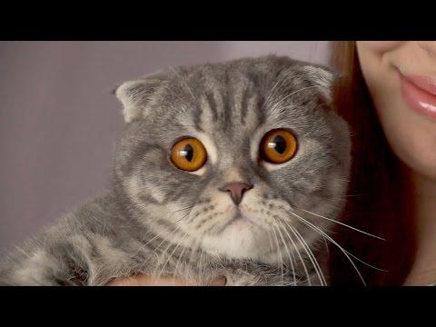 Шотландская вислоухая - популярная порода кошек