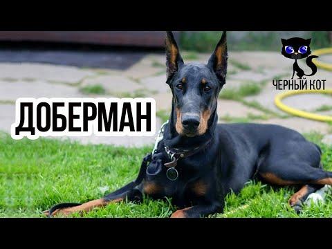 ✔ Доберман стал полицейской породой в 20 веке. Зачем этой собаке купируют уши и хвост?
