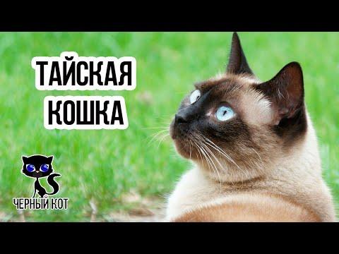 ✔ Тайская кошка. Чем отличается тайская порода кошек от сиамской?