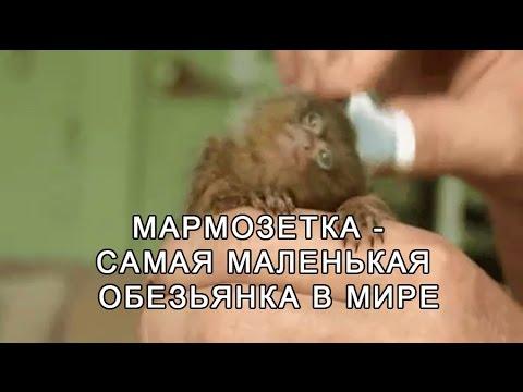 Мармозетка — самая маленькая обезьянка в мире.