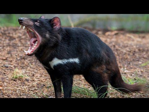 Тасманский Дьявол – ночной кошмар! Агрессивный, крикливый и очень прожорливый!