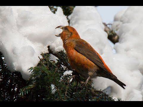 клест еловик (Loxia curvirostra, Red crossbill) Moscow 2018