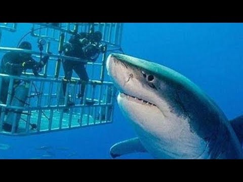 Самая большая белая акула, которая попала на камеру