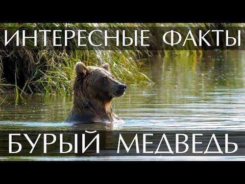 Бурый медведь - интересные факты