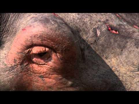 Гангстеры дикой природы - Бегемоты