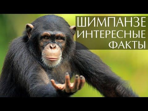 Шимпанзе - интересные факты