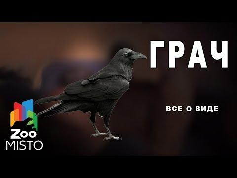 Грач - Все о семейства врановых   Грач род вороны