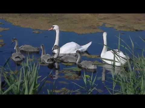 Лебедь-шипун и его потомство