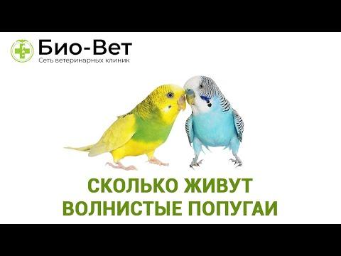 Сколько живут волнистые попугаи 🐦// Сеть Ветклиник Био-Вет