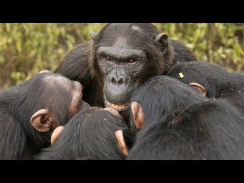 Самые Умные Охотники Африки, которые очень похожи на нас - ШИМПАНЗЕ!