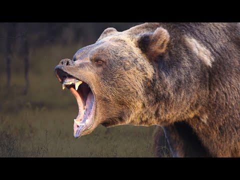 Медведь гризли - интересные факты