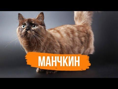 МАНЧКИН - ИНТЕРЕСНЫЕ ФАКТЫ О ПОРОДЕ