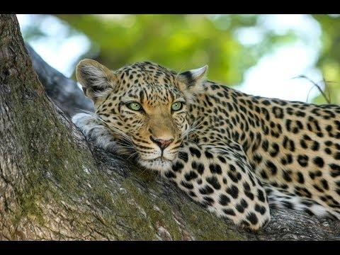 Очень интересно! Жизнь Дальневосточного Леопарда! Документальные фильмы1