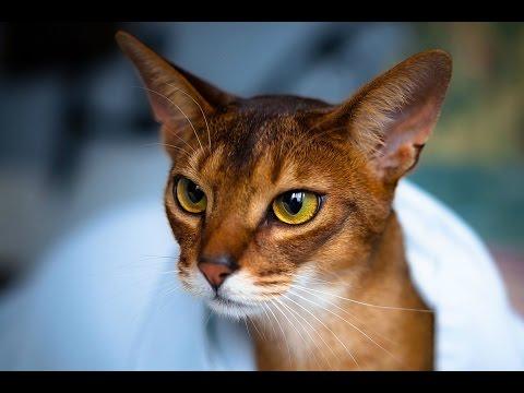 Абиссинская кошка - описание породы
