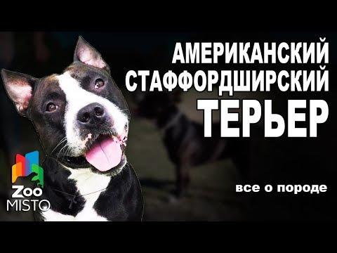 Американский Стаффордширский Терьер - Все о породе собаки   Собака породы - Стаффордширский Терьер
