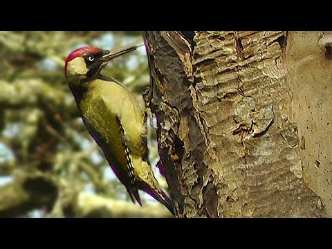 Green Woodpecker and Great Spotted Woodpecker : Birds Nest Building