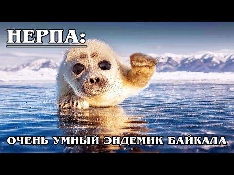 БАЙКАЛЬСКАЯ НЕРПА: Загадка науки и эндемик озера Байкал   Интересные факты про нерпу и тюленей