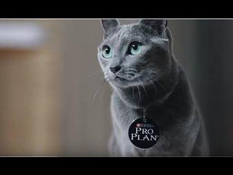 Русская голубая кошка ➠ Узнайте все о породе котов