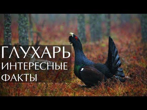 Птица Глухарь - интересные факты