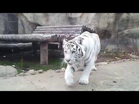 Нападение белого тигра / White tiger attack