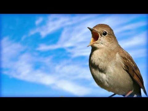 Незабываемое Пение соловья / Chill out Nightingale Singing