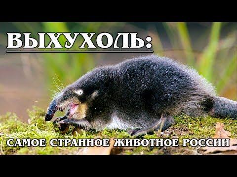 ВЫХУХОЛЬ: Пахнет фиалками и дружит с бобрами   Интересные факты про выхухоль и животных России