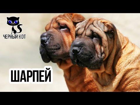 ✔ Шарпей - удивительный пёс со складками на коже, широкой мордой и тёмным языком