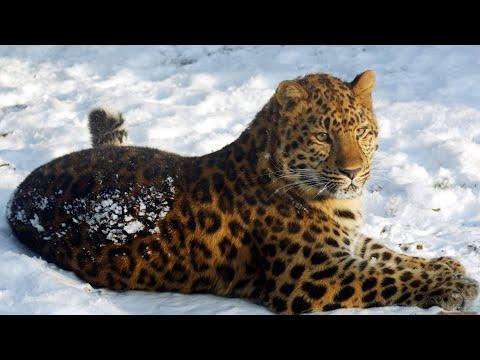 АМУРСКИЙ БАРС: Самая РЕДКАЯ большая кошка ненавидит амурских тигров | Интересные факты про леопардов