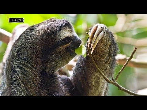 Его назвали в честь одного из семи смертных грехов и не зря - Трёхпалый ленивец