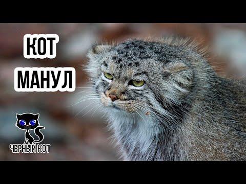 ✔ Манул – степной дикий кот. Почему манул попал в Красную книгу?