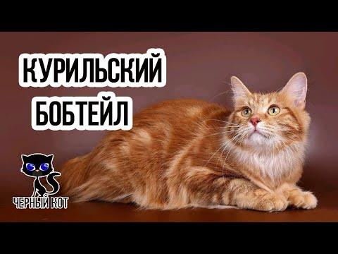✔ Курильский бобтейл – удивительная кошка с пушистым помпоном вместо хвоста