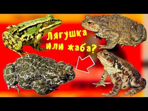 ЧЕМ отличается ЛЯГУШКА от ЖАБЫ, вы точно не знали это о жабе