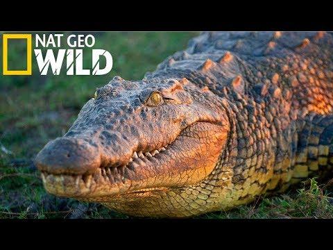National Geographic - Нильский крокодил - Самый сильный - Документальный фильм