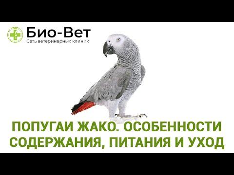 Попугай Жако 🐦 / Содержание, Питания и Уход / Сеть Ветклиник Био-Вет