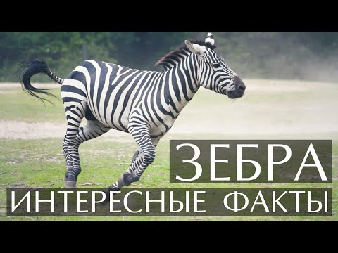 Зебра - интересные факты
