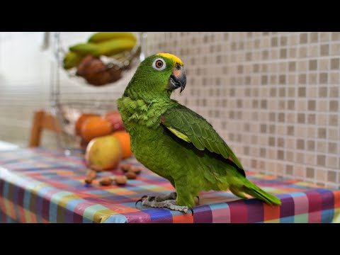 Попугай Roma, Амазон. Loro Amazonico