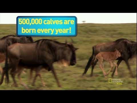 Невероятные животные: Антилопа гну