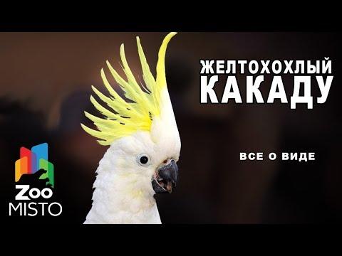 Желтохохлый какаду - Все о виде попугаев   Вид попугая - желтохохлый какаду