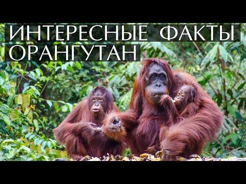 Орангутан - интересные факты