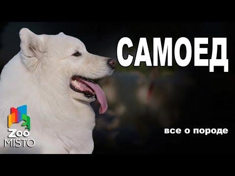 Самоедская собака - Все о породе собаки   Собака породы - Самоедская собака